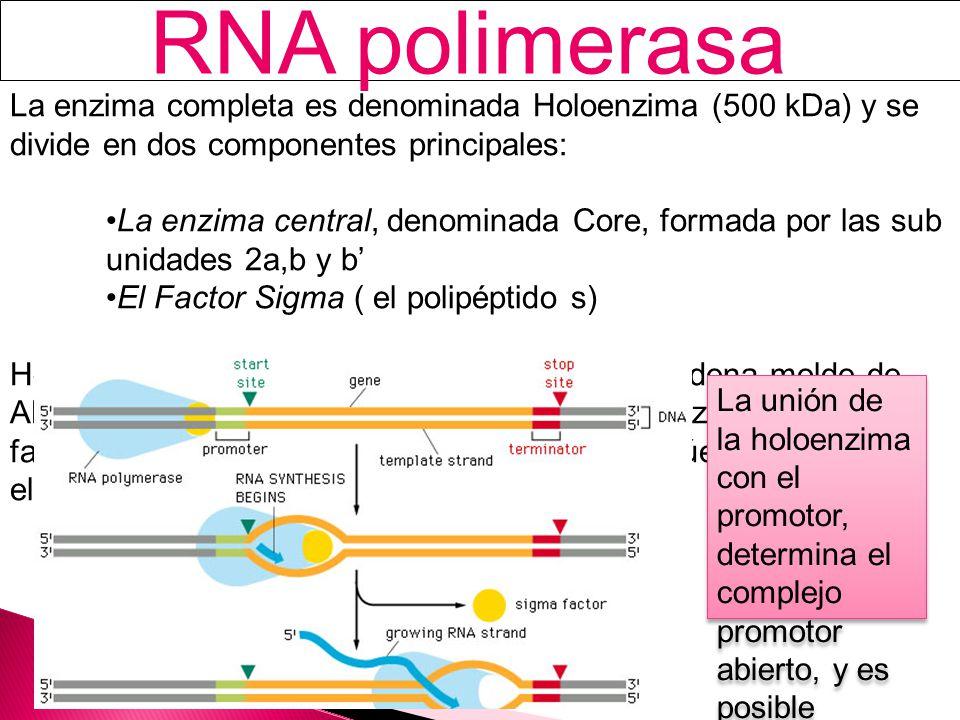 RNA polimerasa La enzima completa es denominada Holoenzima (500 kDa) y se divide en dos componentes principales: