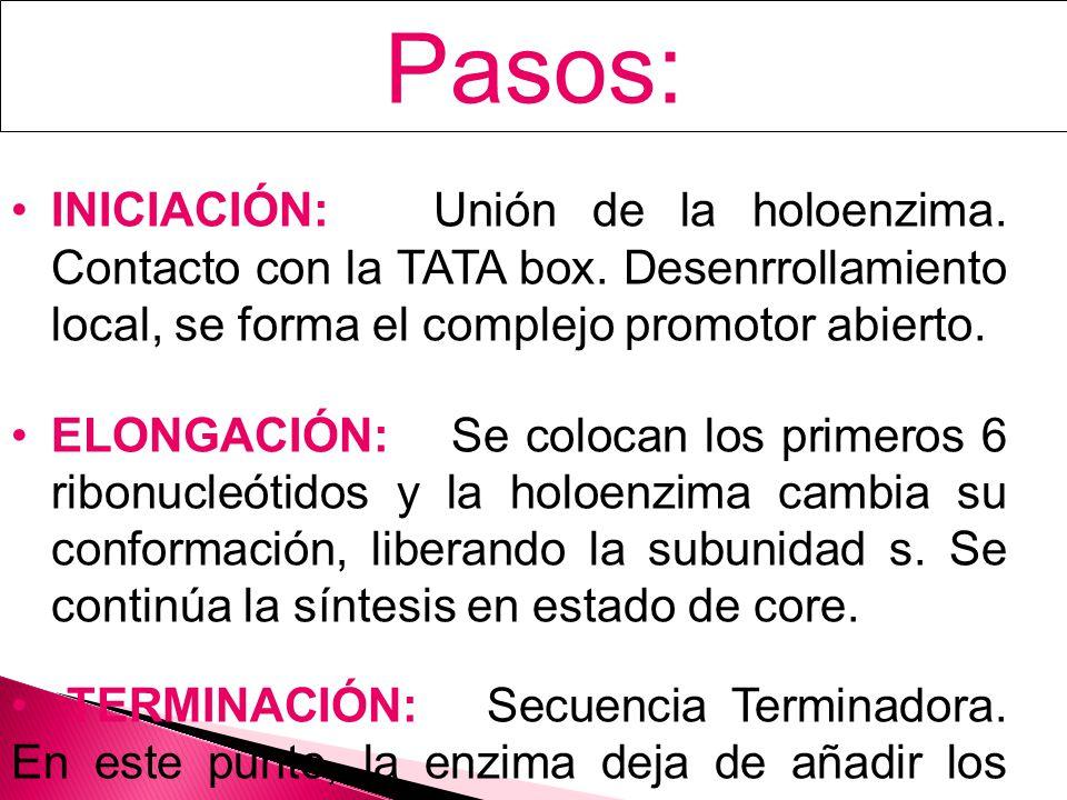 Pasos: INICIACIÓN: Unión de la holoenzima. Contacto con la TATA box. Desenrrollamiento local, se forma el complejo promotor abierto.