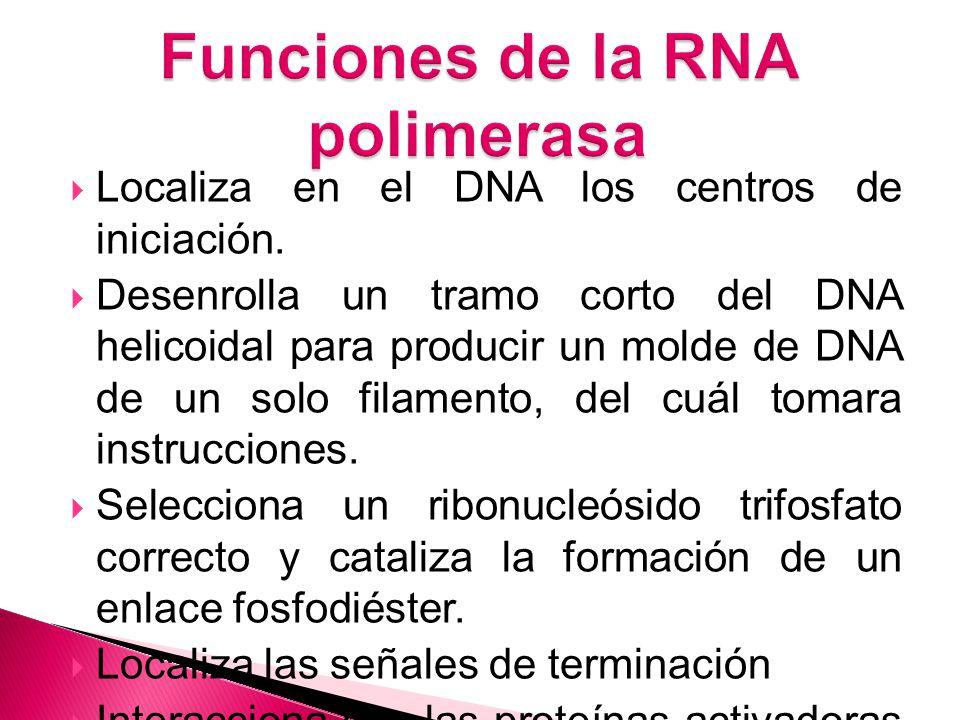 Funciones de la RNA polimerasa