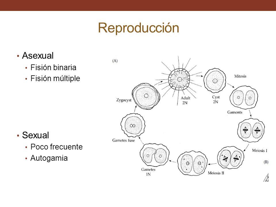 Reproducción Asexual Sexual Fisión binaria Fisión múltiple