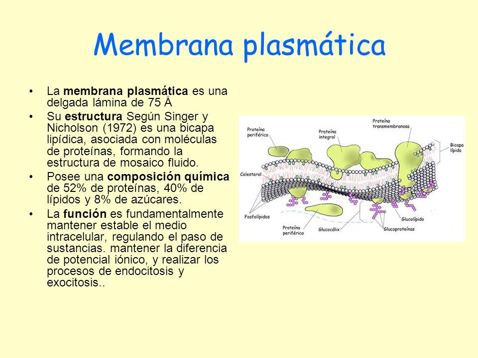 Membrana plasmática La membrana plasmática es una delgada lámina de 75 Å.