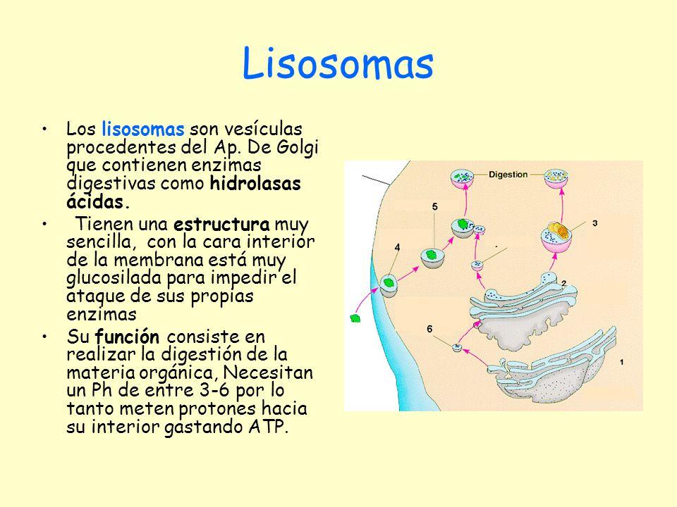Lisosomas Los lisosomas son vesículas procedentes del Ap. De Golgi que contienen enzimas digestivas como hidrolasas ácidas.