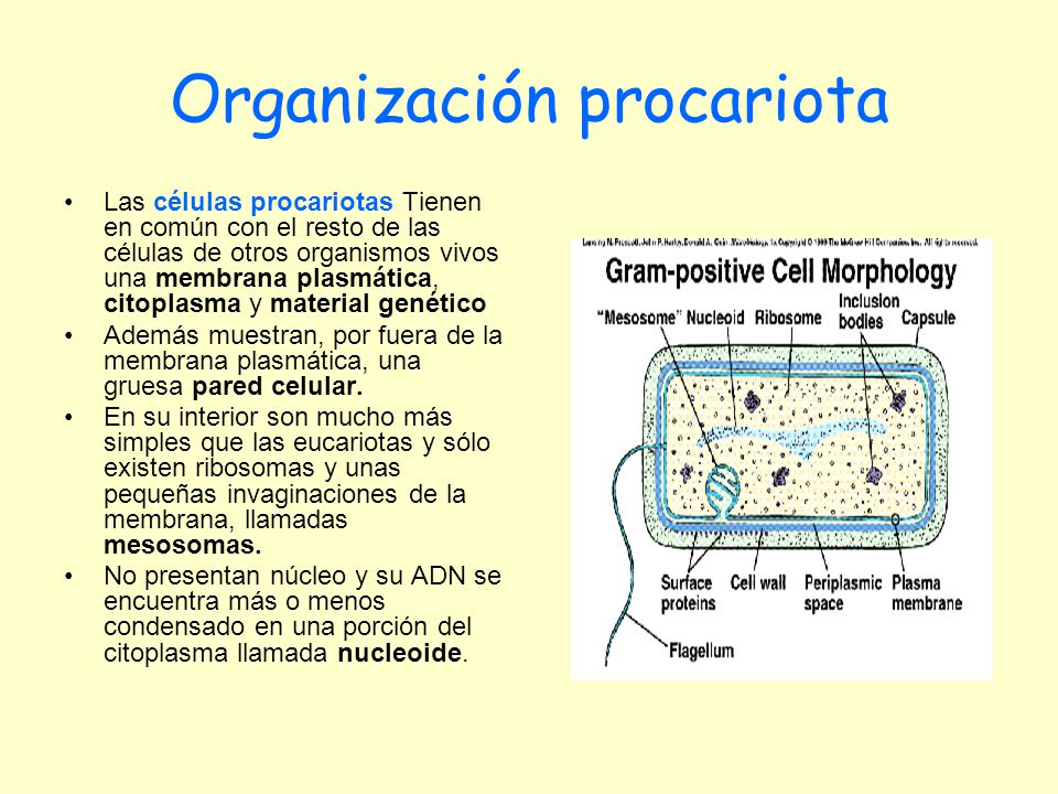 Organización procariota