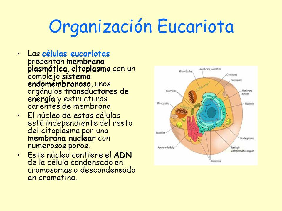 Organización Eucariota