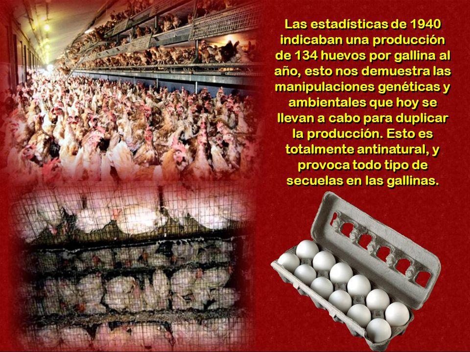 Las estadísticas de 1940 indicaban una producción de 134 huevos por gallina al año, esto nos demuestra las manipulaciones genéticas y ambientales que hoy se llevan a cabo para duplicar la producción.