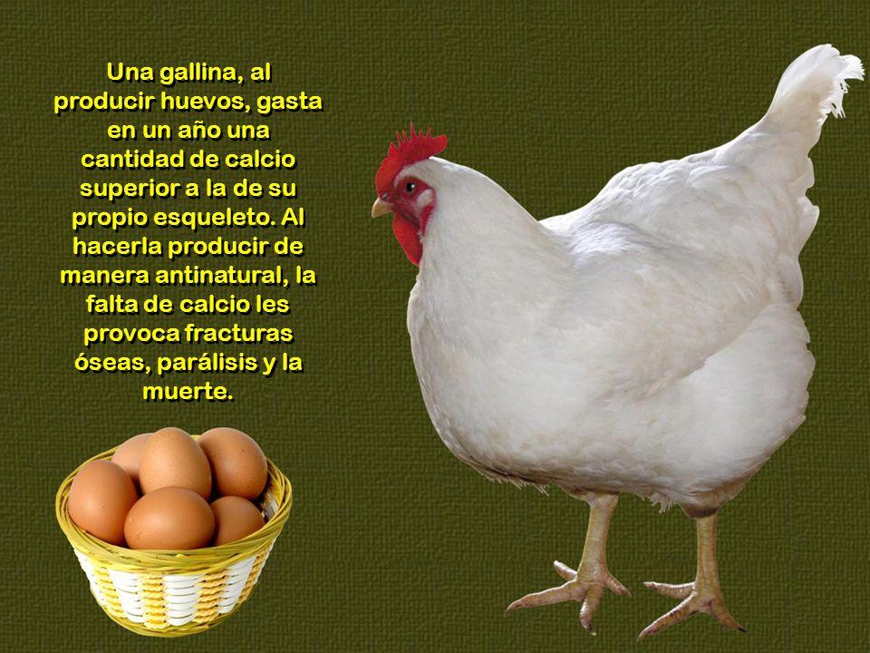 Una gallina, al producir huevos, gasta en un año una cantidad de calcio superior a la de su propio esqueleto.