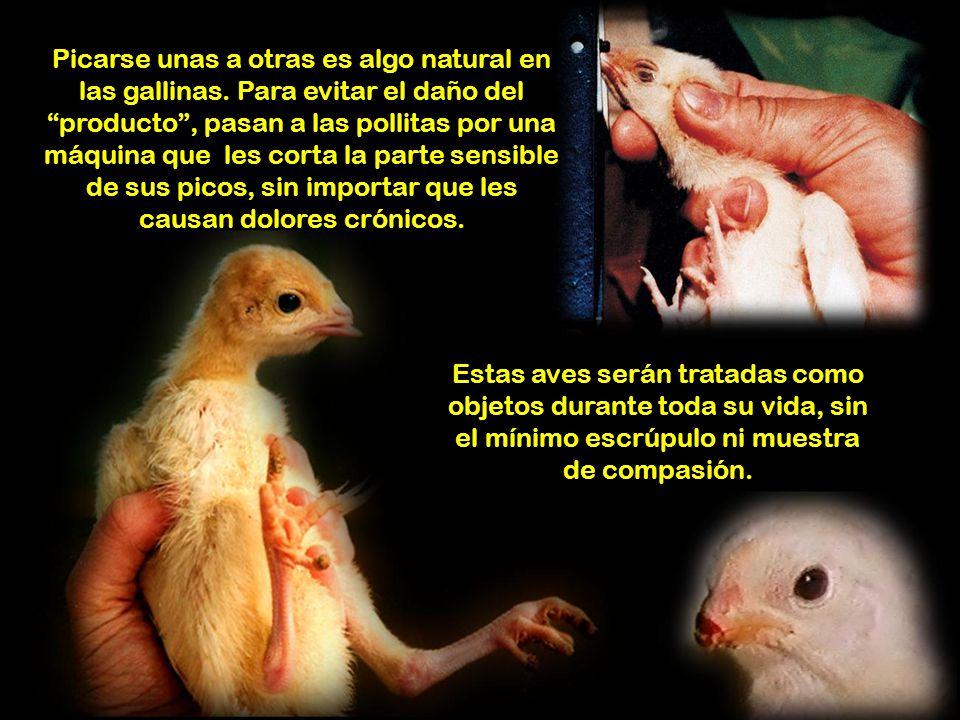 Estas aves serán tratadas como objetos durante toda su vida, sin