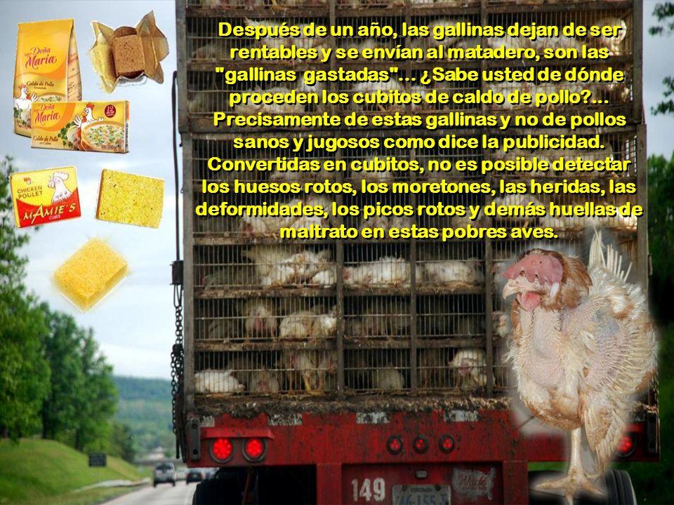 Después de un año, las gallinas dejan de ser rentables y se envían al matadero, son las gallinas gastadas … ¿Sabe usted de dónde proceden los cubitos de caldo de pollo ...