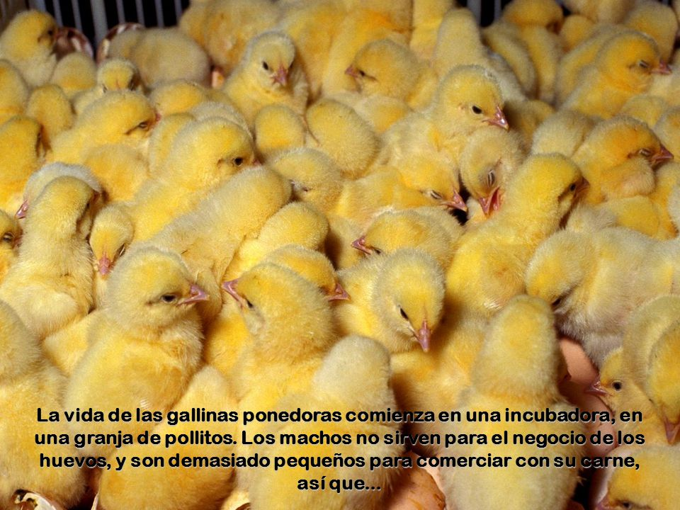 La vida de las gallinas ponedoras comienza en una incubadora, en una granja de pollitos.