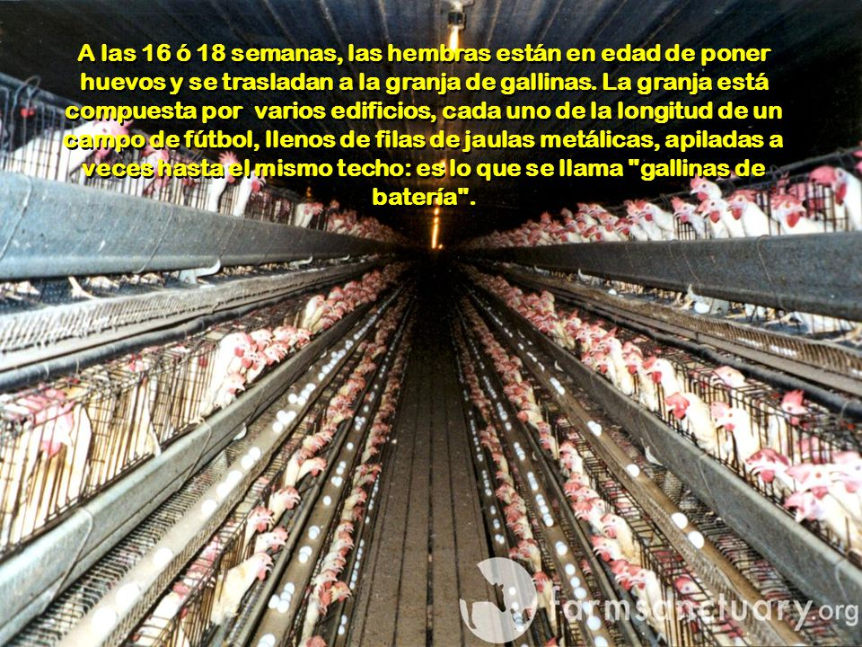 A las 16 ó 18 semanas, las hembras están en edad de poner huevos y se trasladan a la granja de gallinas.