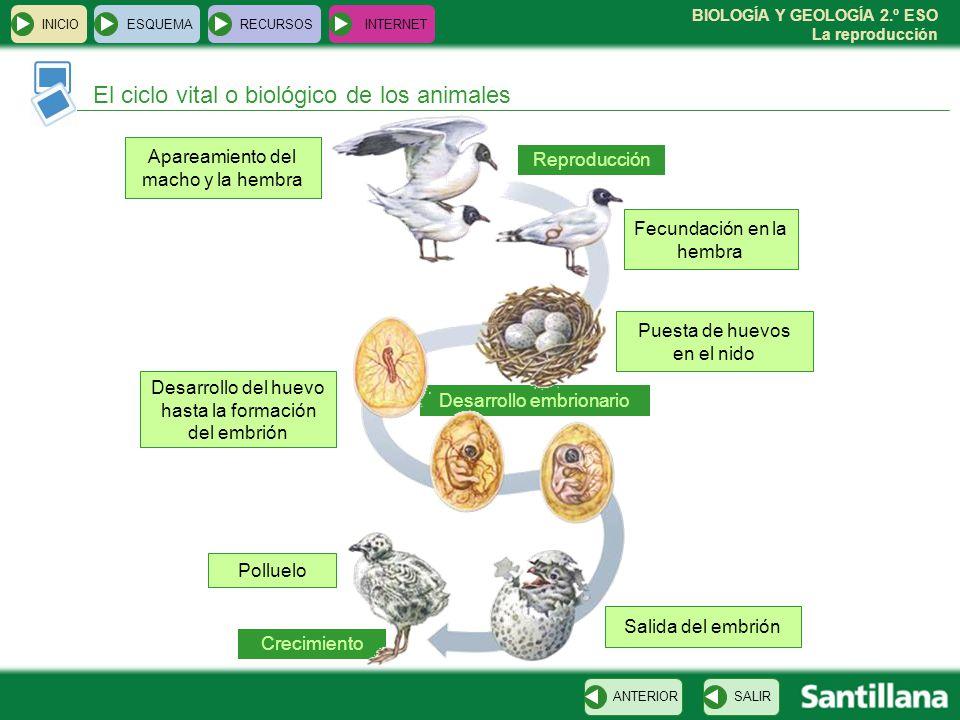 El ciclo vital o biológico de los animales