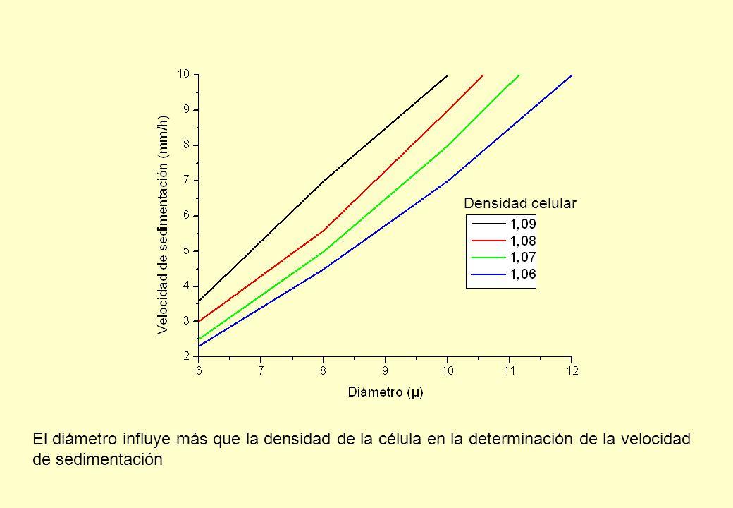 Densidad celular El diámetro influye más que la densidad de la célula en la determinación de la velocidad de sedimentación.