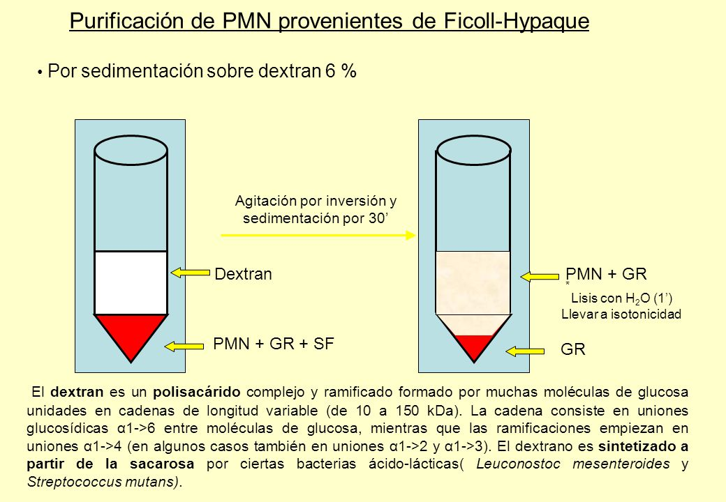 Purificación de PMN provenientes de Ficoll-Hypaque