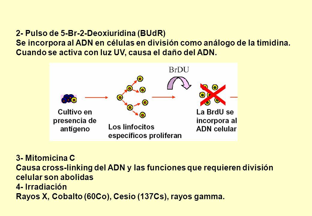X 2- Pulso de 5-Br-2-Deoxiuridina (BUdR)