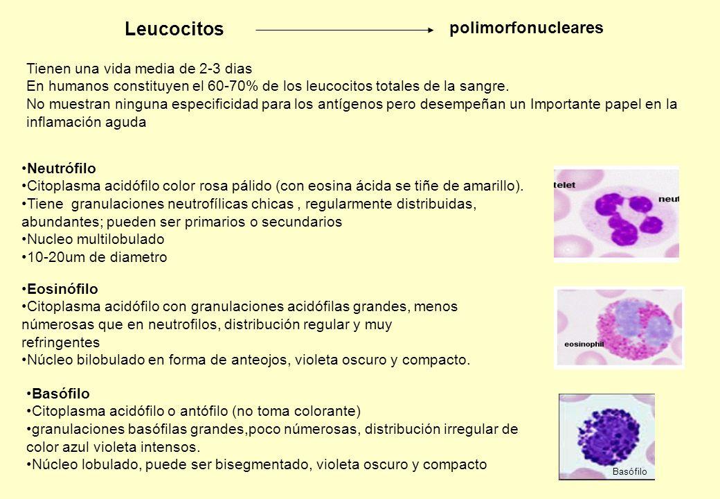 Leucocitos polimorfonucleares Tienen una vida media de 2-3 dias
