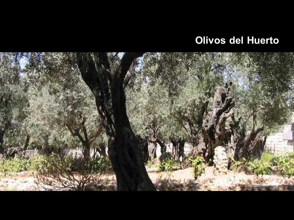 Olivos del Huerto