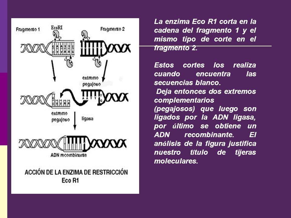 La enzima Eco R1 corta en la cadena del fragmento 1 y el mismo tipo de corte en el fragmento 2.