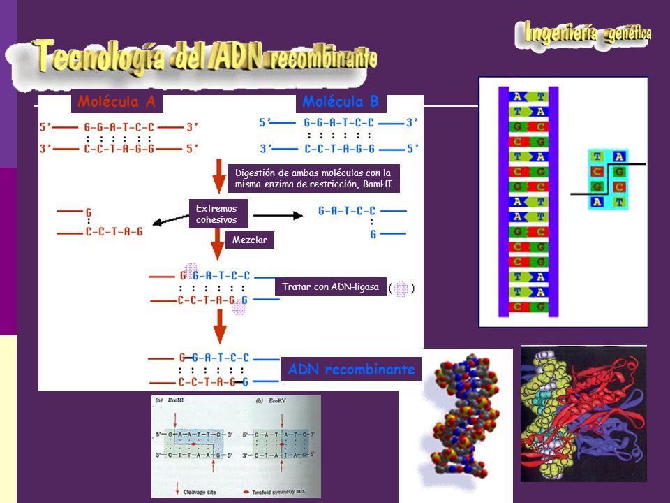 Molécula A Molécula B ADN recombinante
