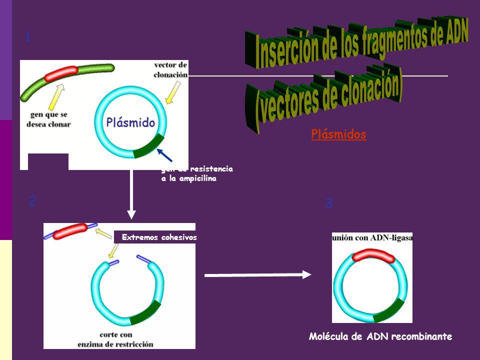 Inserción de los fragmentos de ADN (vectores de clonación)