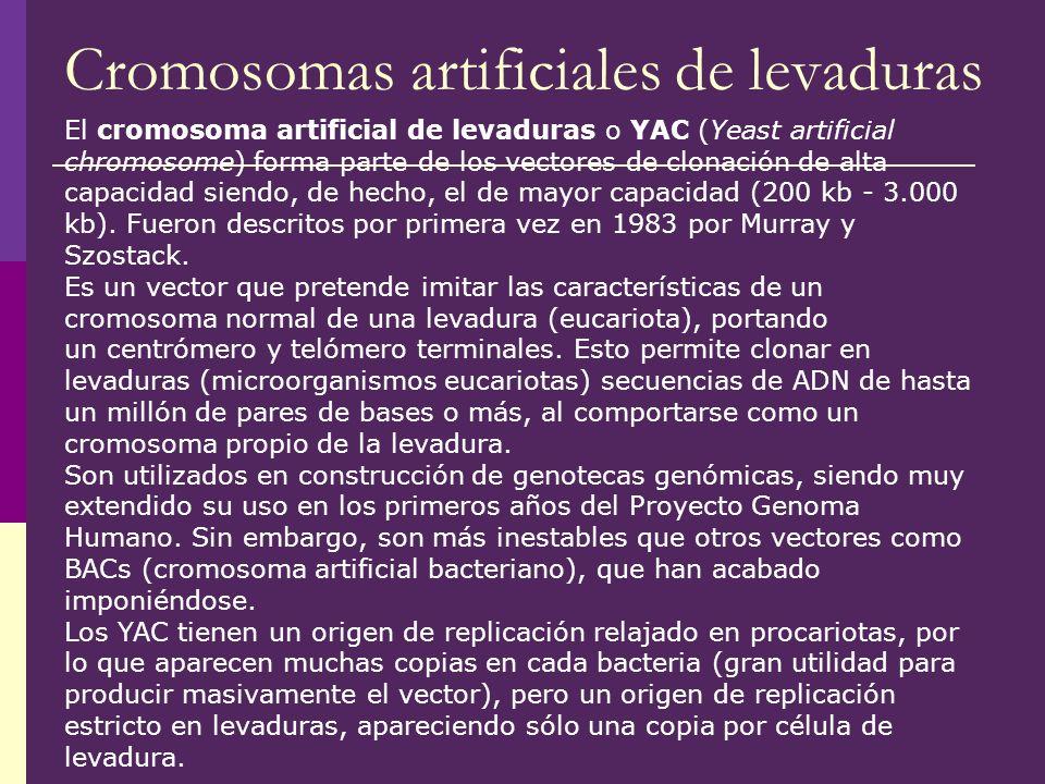 Cromosomas artificiales de levaduras