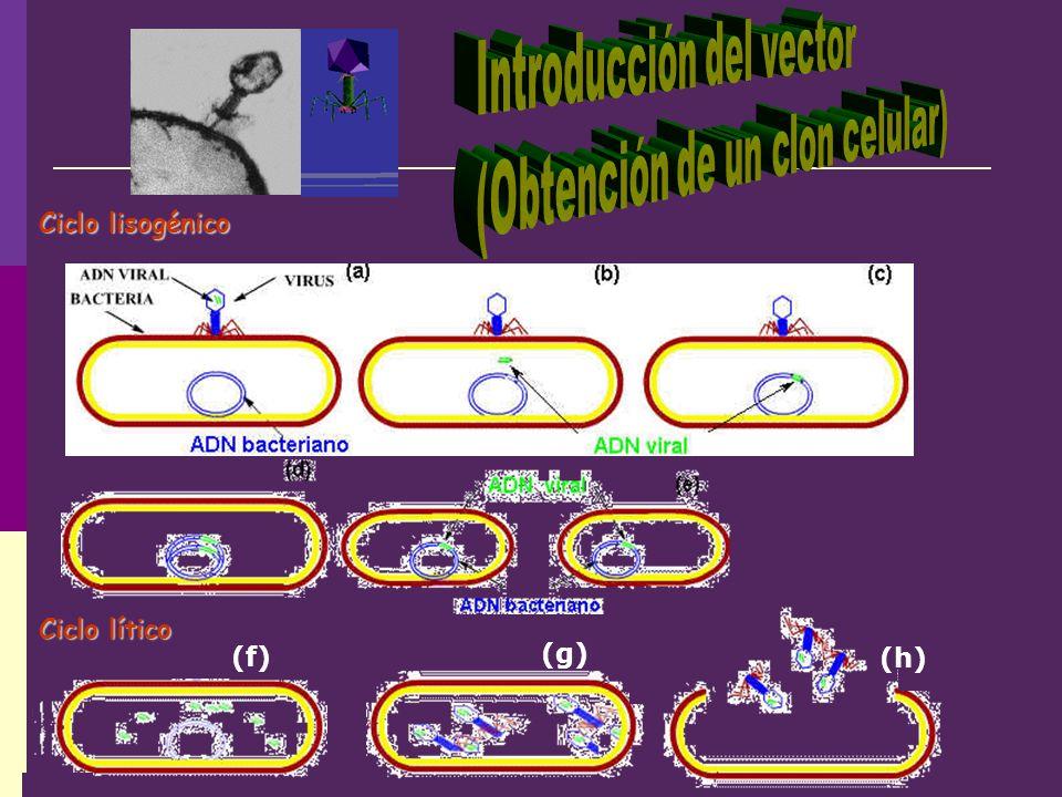 Introducción del vector (Obtención de un clon celular)