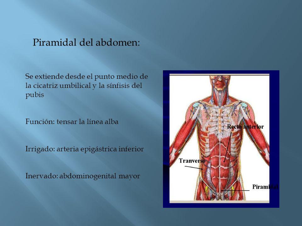 Piramidal del abdomen: