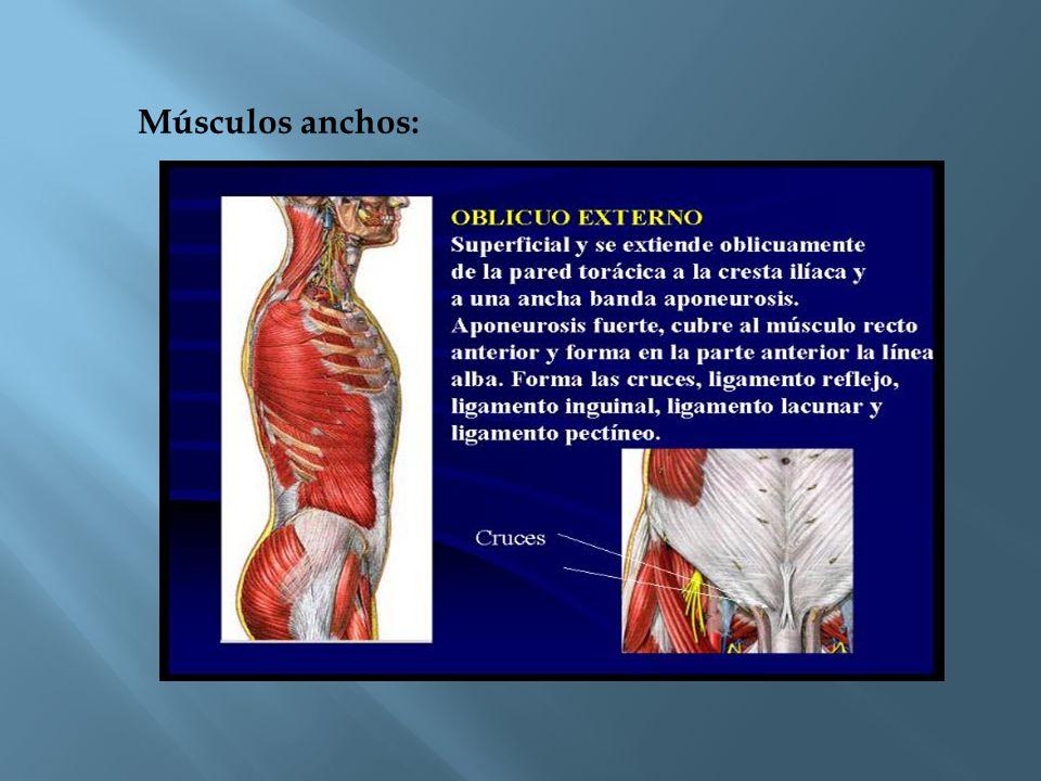 Músculos anchos: