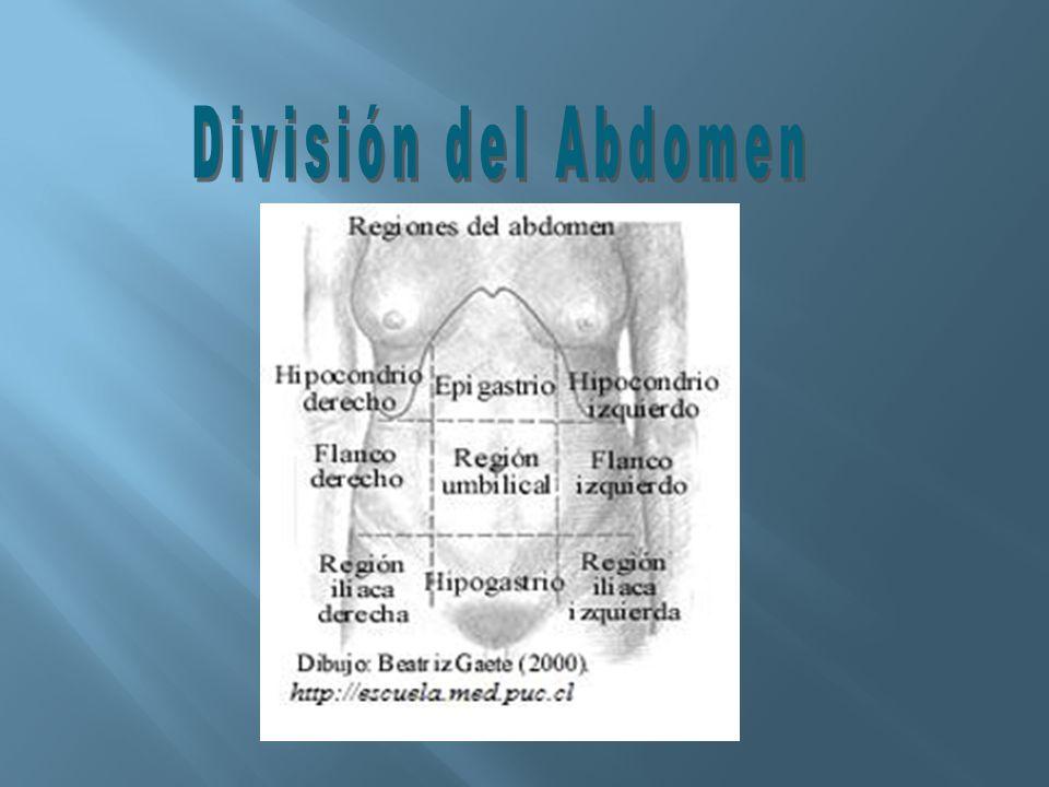 División del Abdomen