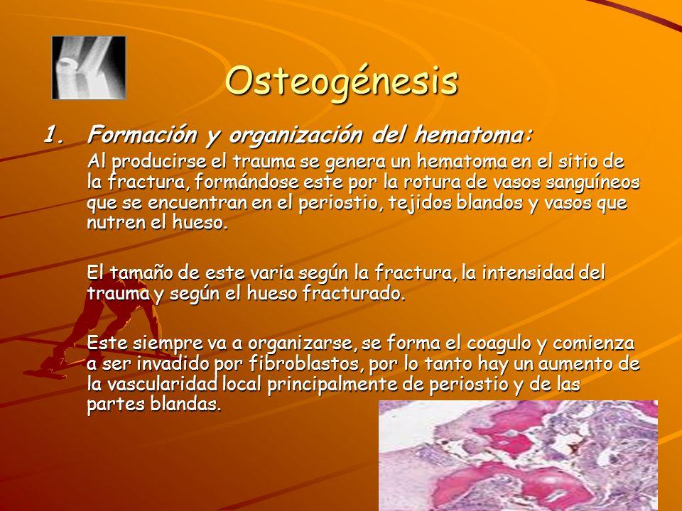 Osteogénesis Formación y organización del hematoma: