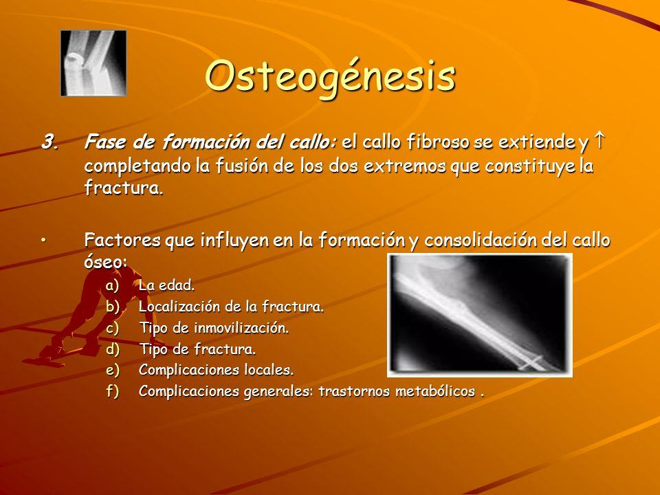Osteogénesis 3. Fase de formación del callo: el callo fibroso se extiende y  completando la fusión de los dos extremos que constituye la fractura.