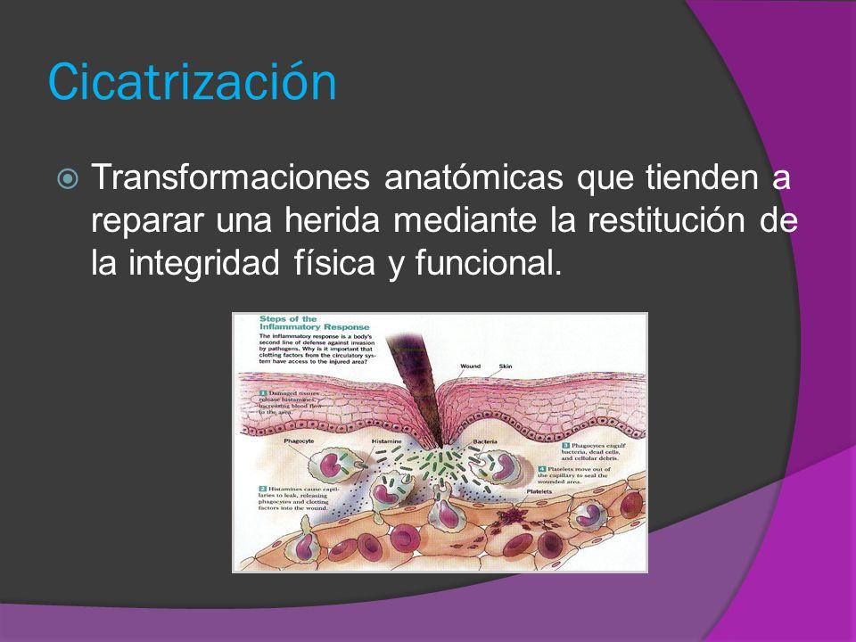 CicatrizaciónTransformaciones anatómicas que tienden a reparar una herida mediante la restitución de la integridad física y funcional.
