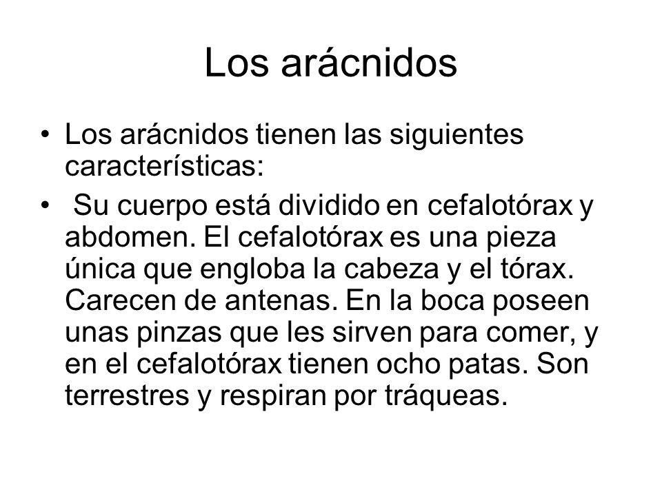 Los arácnidos Los arácnidos tienen las siguientes características: