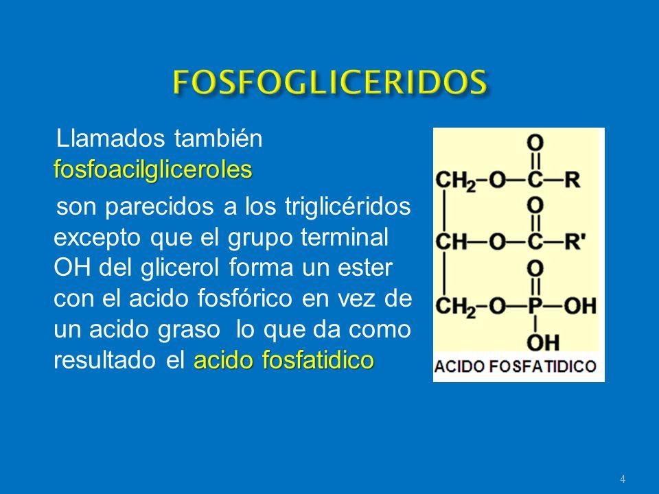 FOSFOGLICERIDOSLlamados también fosfoacilgliceroles.