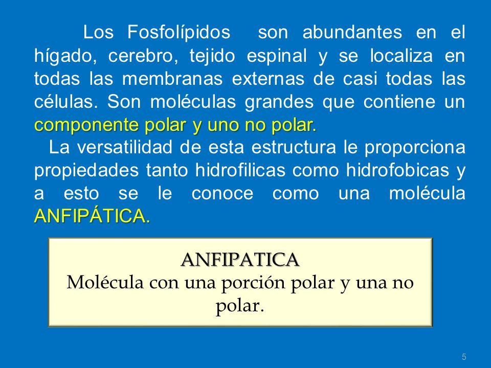 Molécula con una porción polar y una no polar.