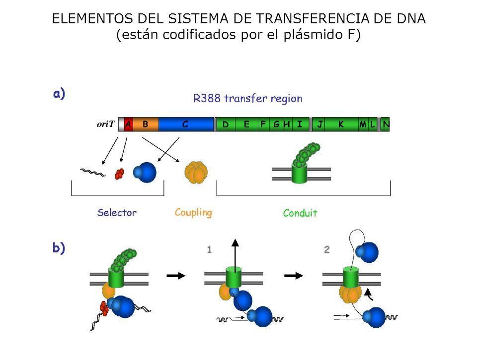 ELEMENTOS DEL SISTEMA DE TRANSFERENCIA DE DNA (están codificados por el plásmido F)