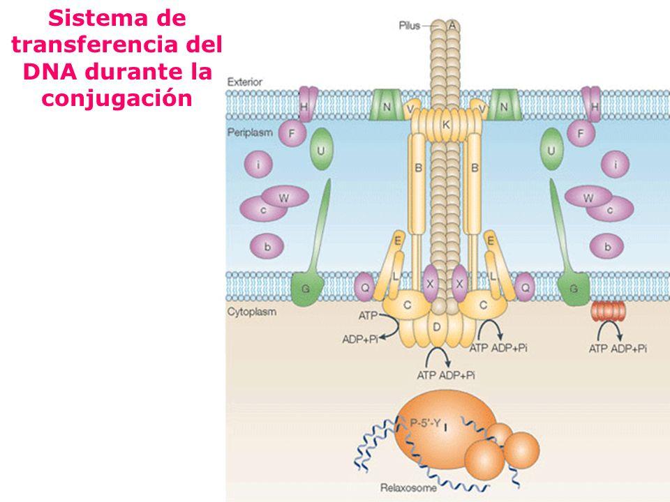 Sistema de transferencia del DNA durante la conjugación