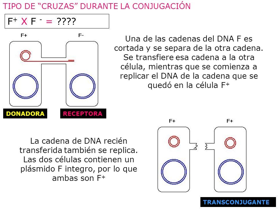 F+ X F - = TIPO DE CRUZAS DURANTE LA CONJUGACIÓN