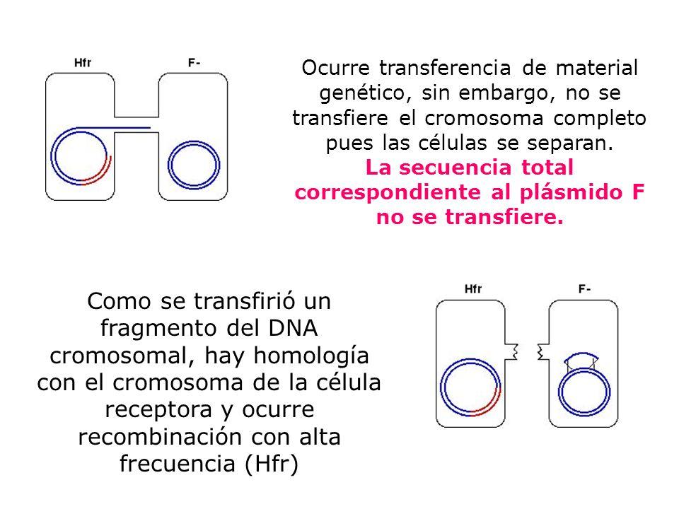Ocurre transferencia de material genético, sin embargo, no se transfiere el cromosoma completo pues las células se separan. La secuencia total correspondiente al plásmido F no se transfiere.