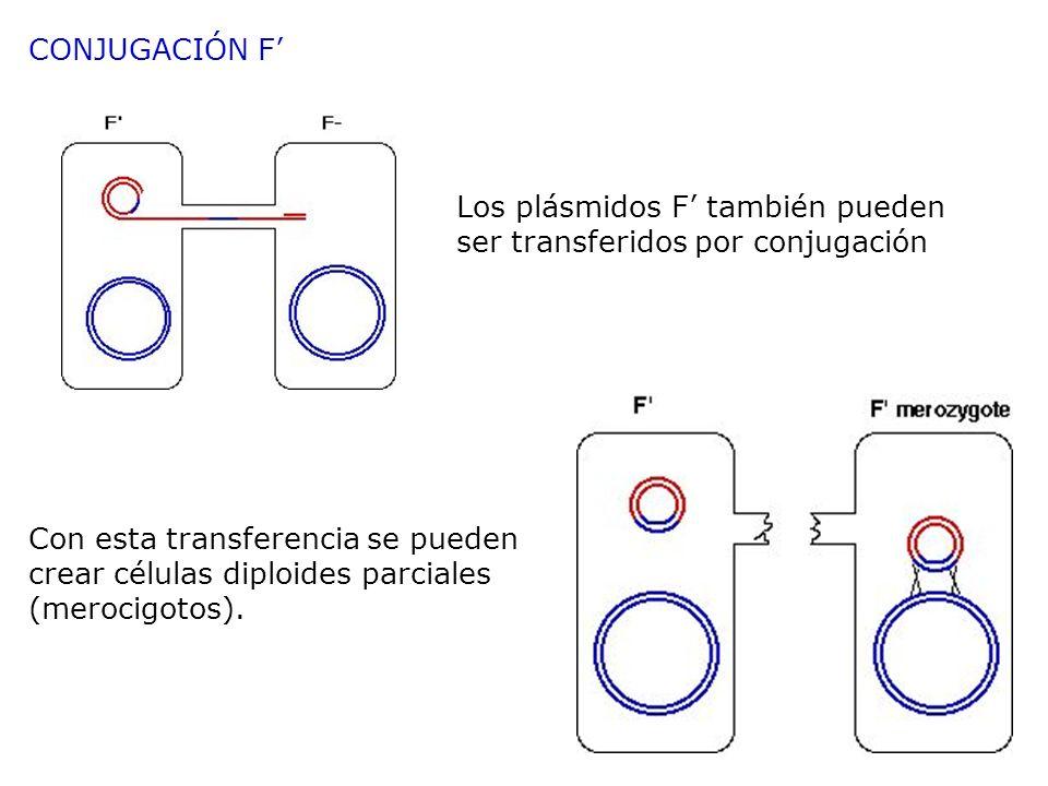 CONJUGACIÓN F' Los plásmidos F' también pueden ser transferidos por conjugación.