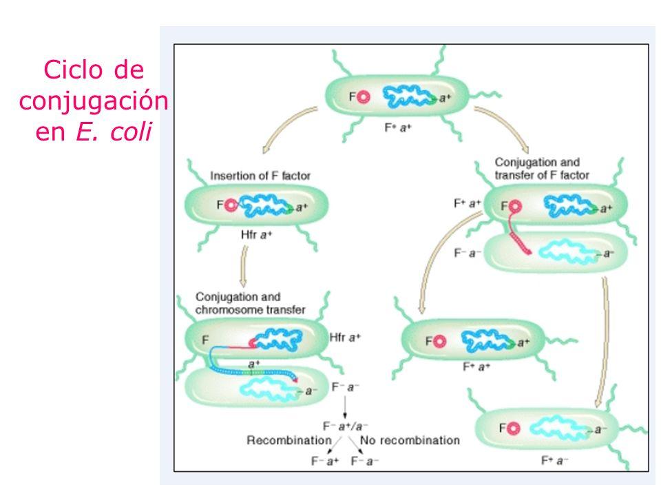 Ciclo de conjugación en E. coli