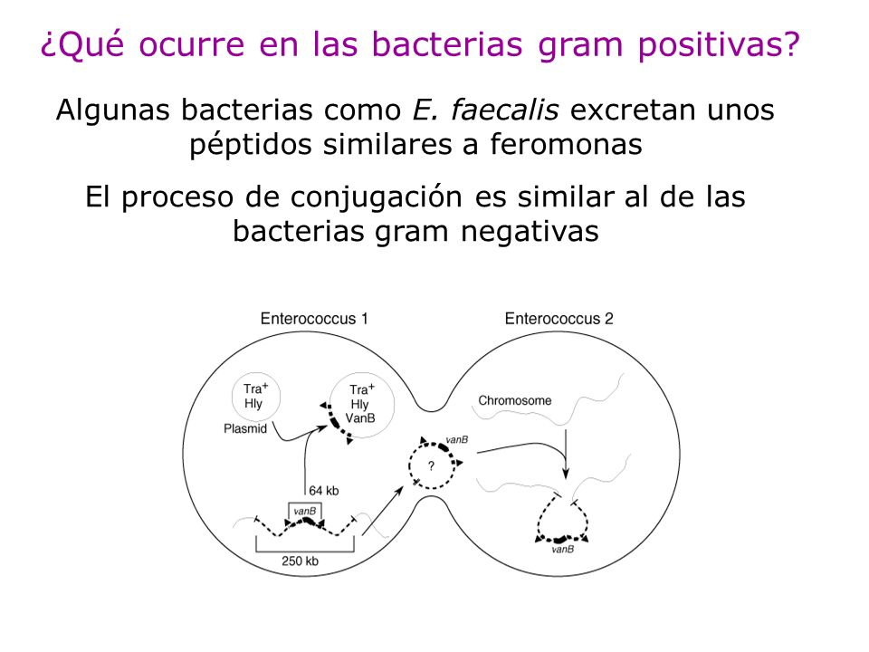 ¿Qué ocurre en las bacterias gram positivas