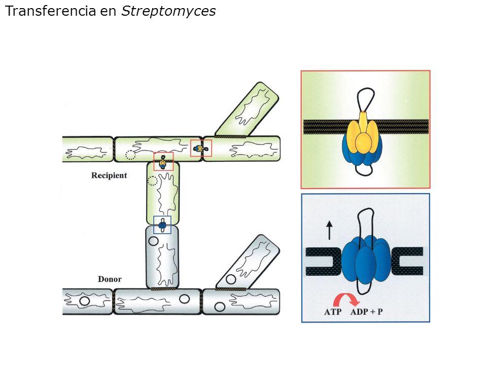 Transferencia en Streptomyces