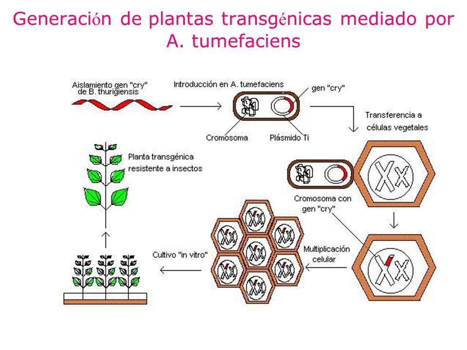 Generación de plantas transgénicas mediado por A. tumefaciens