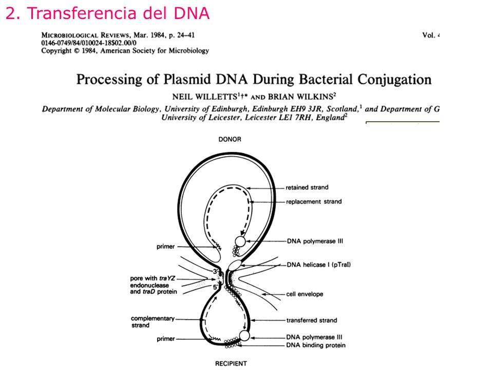 2. Transferencia del DNA