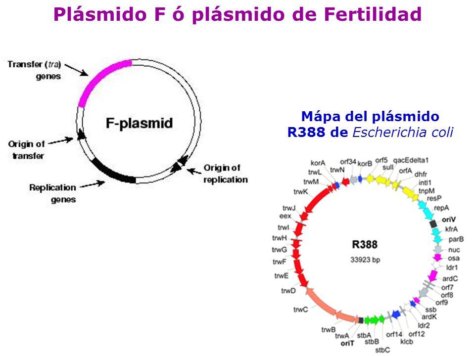 Plásmido F ó plásmido de Fertilidad
