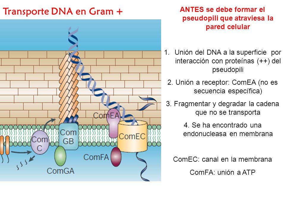 ANTES se debe formar el pseudopili que atraviesa la pared celular