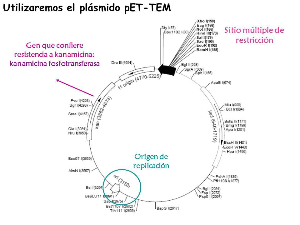 Utilizaremos el plásmido pET-TEM