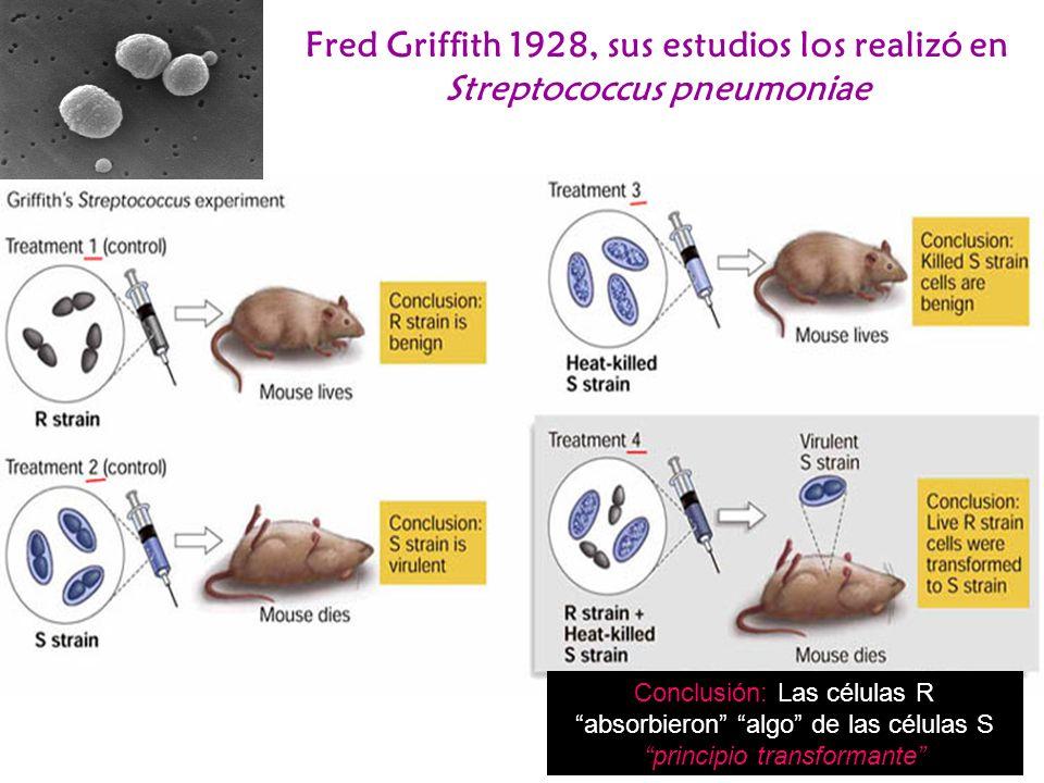Fred Griffith 1928, sus estudios los realizó en Streptococcus pneumoniae