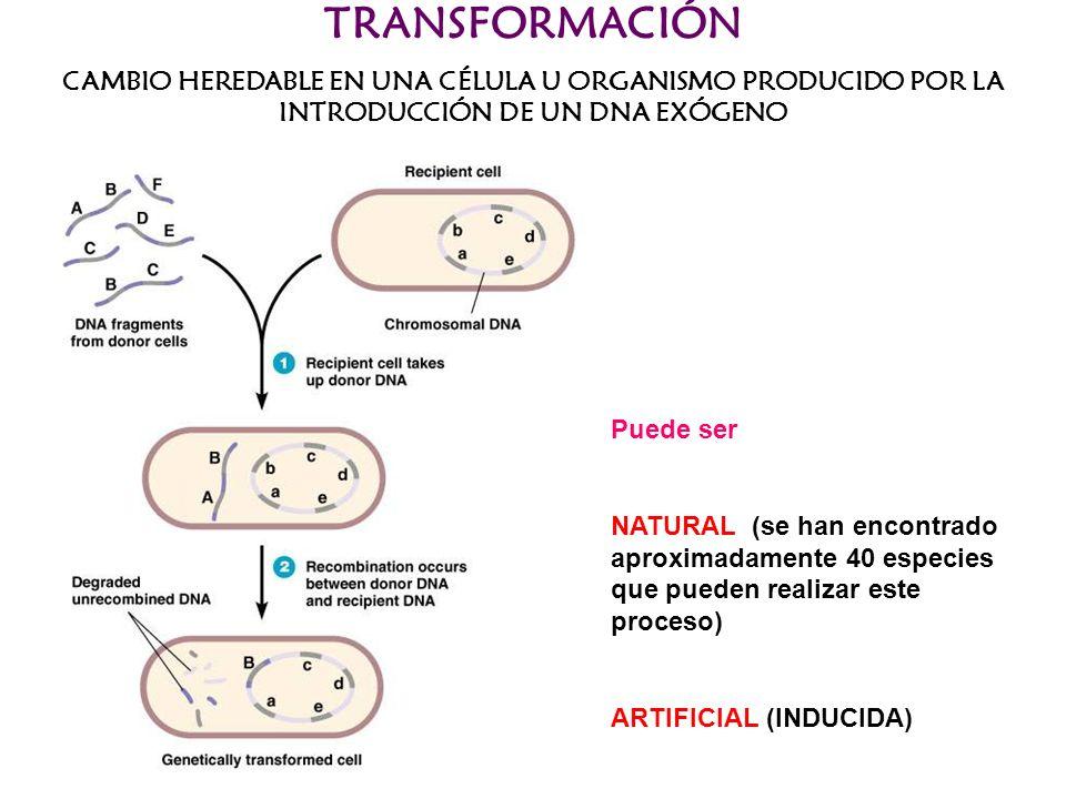 TRANSFORMACIÓNCAMBIO HEREDABLE EN UNA CÉLULA U ORGANISMO PRODUCIDO POR LA INTRODUCCIÓN DE UN DNA EXÓGENO.