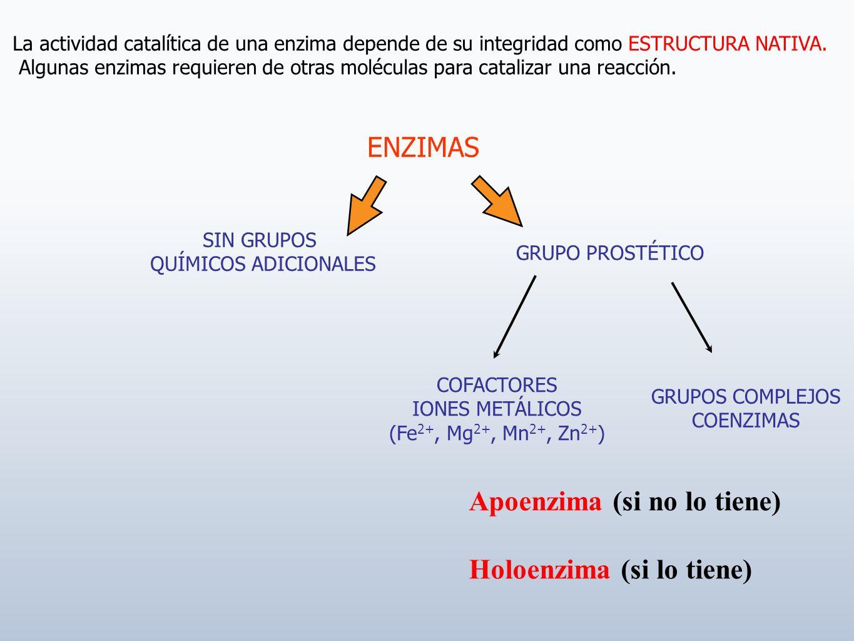Apoenzima (si no lo tiene) Holoenzima (si lo tiene)